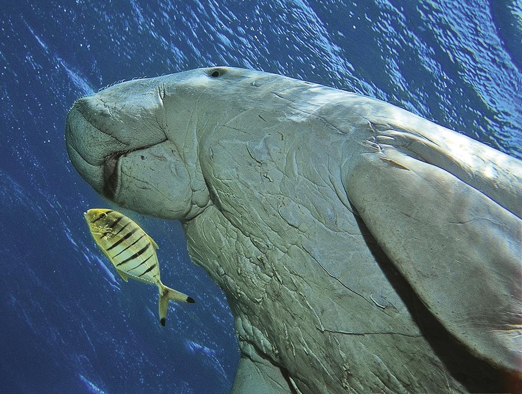 dugong-dugon_07