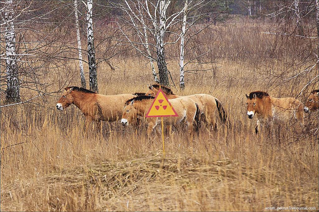 pid-kon-przheval-s-kogo-v-chornobil-s-k-y-zon_i_4