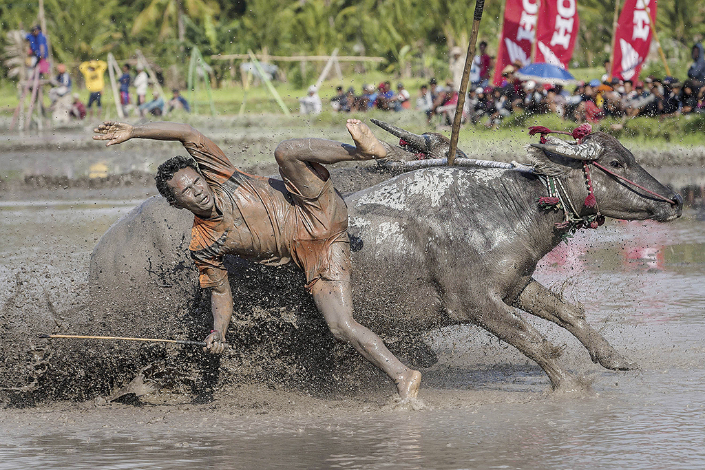 SUMBAWA, WEST NUSA TENGGARA, INDONESIA - SEPTEMBER 30:  A jockey falls from his buffalos during Barapan Kebo or buffalo races as part of the Moyo festival on September 30, 2014 in Sumbawa Island, West Nusa Tenggara, Indonesia. The traditional Buffalo races, known as Barapan Kebo, are held by Samawa tribes in muddy rice fields to celebrate and provide entertainment ahead of the annual planting season. Jockeys secure themselves on a wooden structure attached to the buffalo, and maneuver across the mud in a race to the finish line. The jockeys weild long sticks, in a similar style to jousting, and direct them towards targets called 'Saka'. (Photo by Ulet Ifansasti/Getty Images) ORG XMIT: 514778455