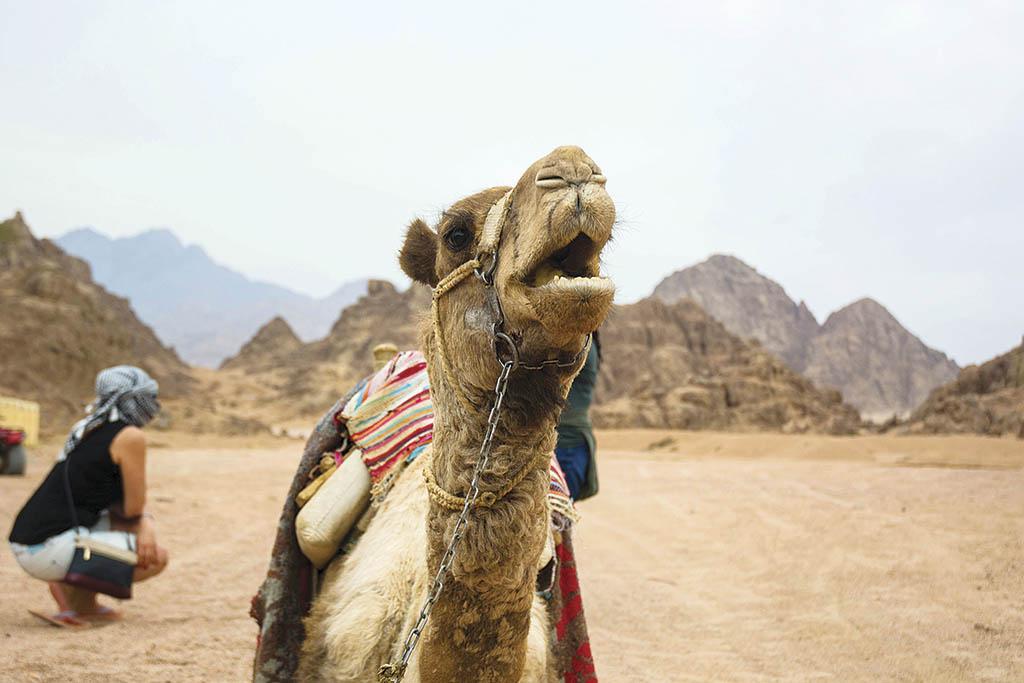 «Кораблі пустелі» можуть два тижні обходитися без води та пересуватися зі швидкістю 40 км/год