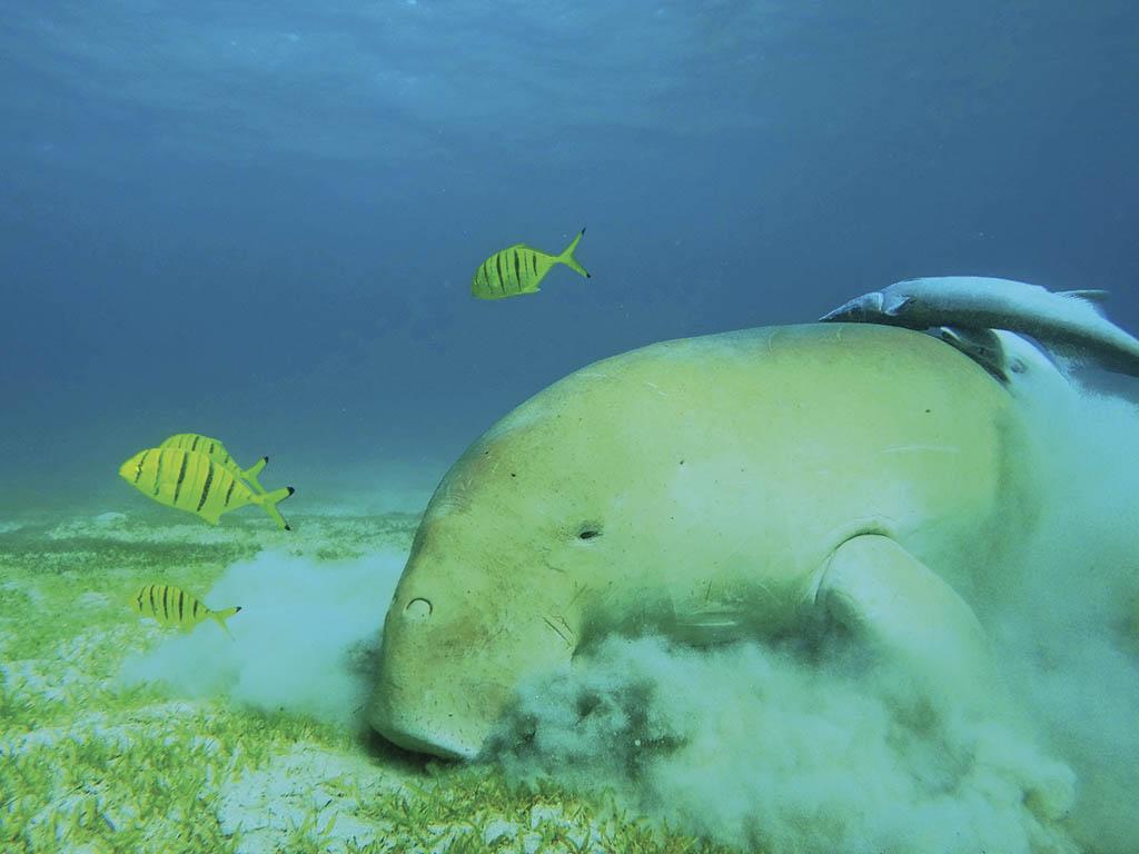Морська корова дюгонь пасеться і не зважає на пірнальників.